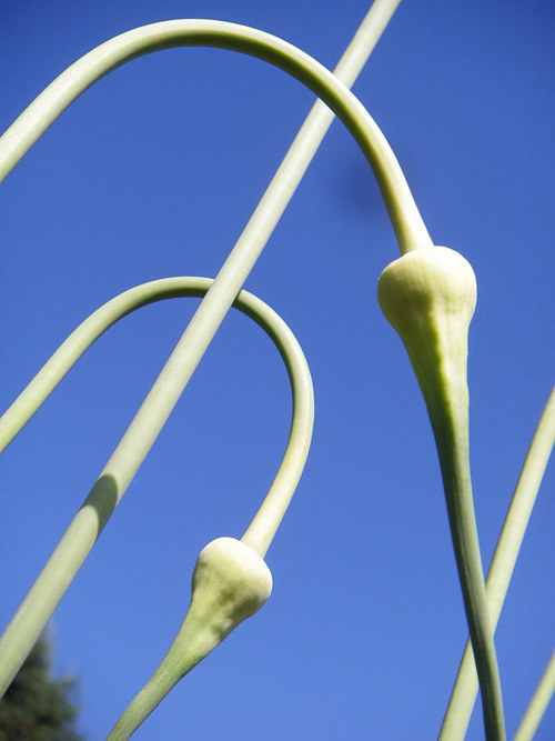 A photograph of budding garlic on a sunny day