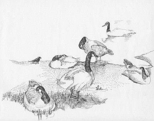 A pen and ink drawing of some Canada geese standing on a beach