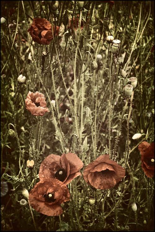 A photo of wild popppies