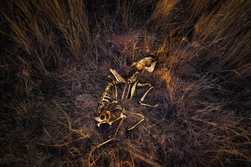 A photo of an animal skeleton in a grass cradle