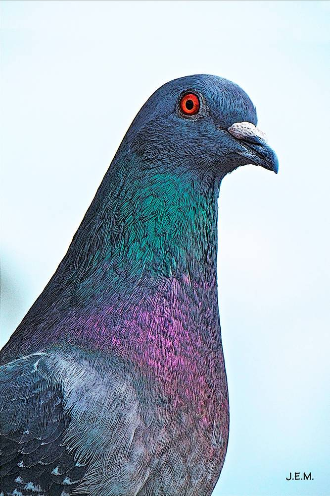 LOVELY PIGEON  by Joeann Edmonds-Matthew