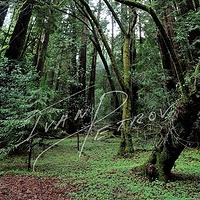 #SFO26 - A Walk Through Muir Woods by Ivan Petrov