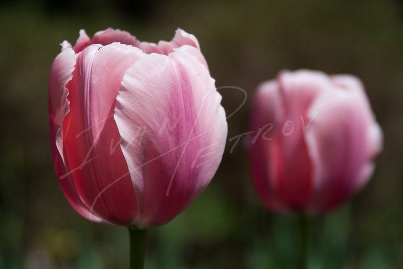 #YOW46 - Pink Tulips by Ivan Petrov