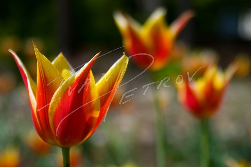 #YOW45 - Three Tulips by Ivan Petrov