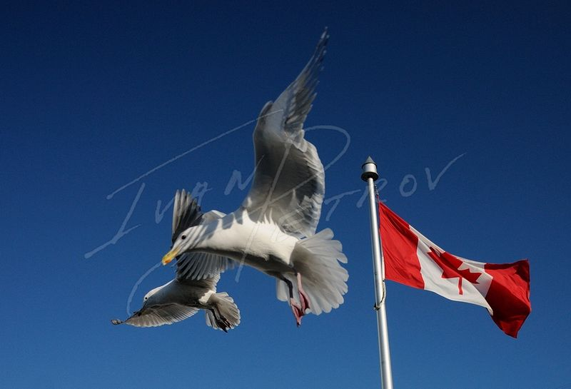 #YVR6 - Granville Seagulls by Ivan Petrov