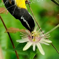 #SAB15 - Bananaquit and Passion Flower by Ivan Petrov