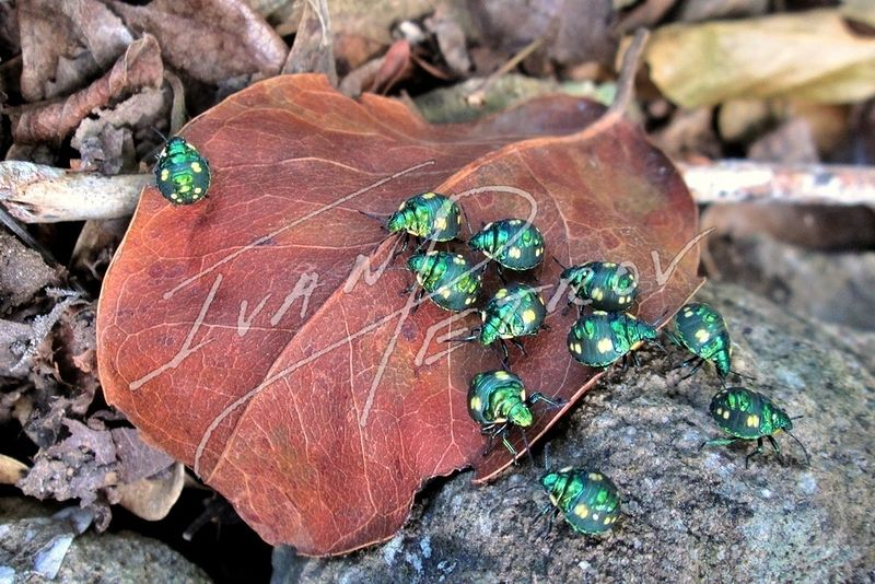 #SAB24 - Jewel Beetles of the North Coast by Ivan Petrov
