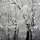 SNOW-trees_SM by John  Douglas