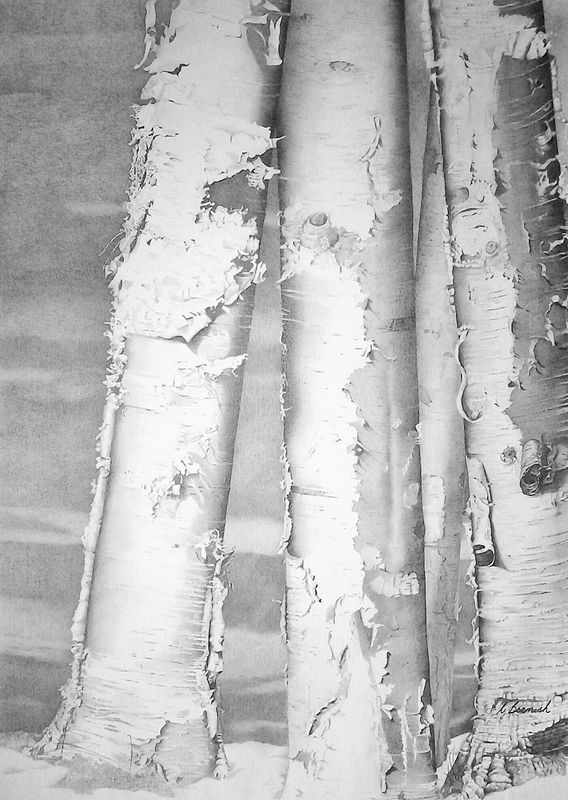 Drawing Birches $1100.00 by Vicki Beamish