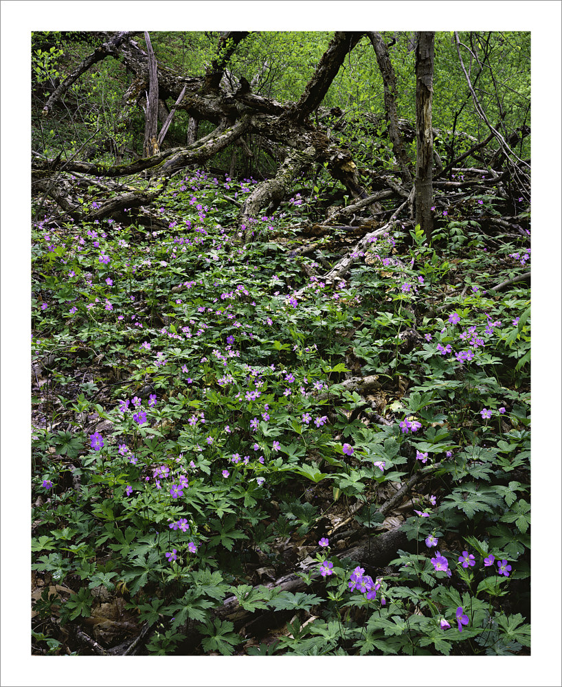 Wild Geranium & Fallen Tree by Wayne Mazorow