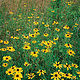 Black-eyed Susan's by Wayne Mazorow