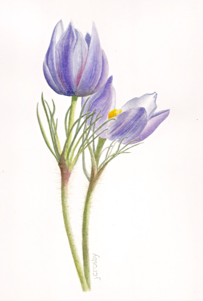 Watercolor Prairie Crocus, Manitoba by Jane Crosby
