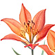 Watercolor Western Red Lily, Saskatchewan by Jane Crosby