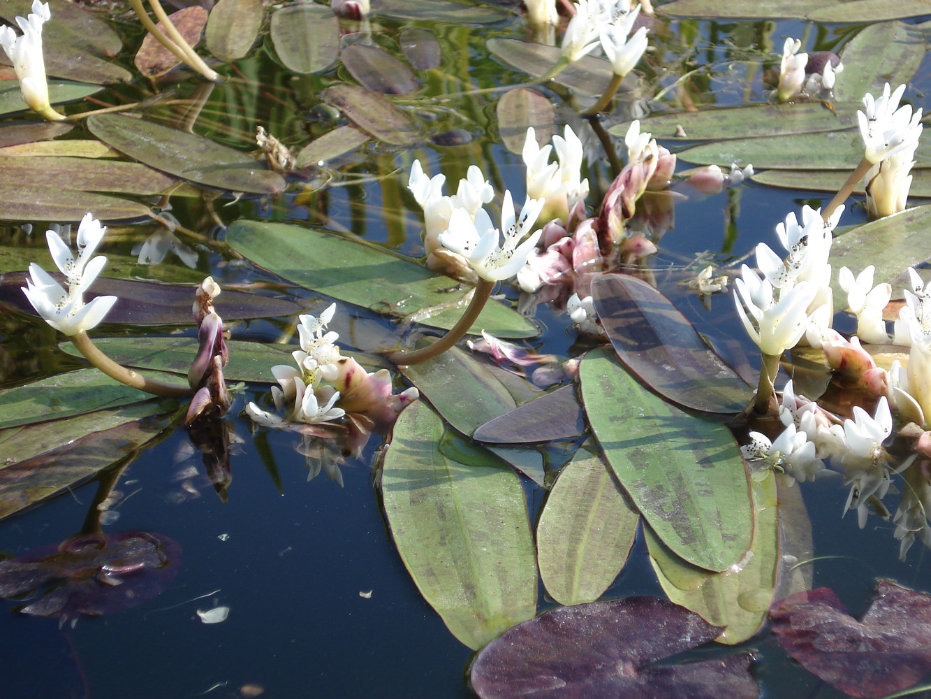 Photography Waterlilies by Joan Morris