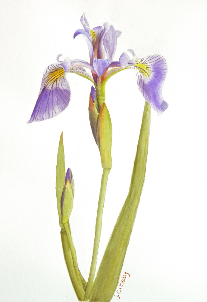 Watercolor Blue Flag Iris, Quebec by Jane Crosby