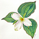 Watercolor White Trillium, Ontario by Jane Crosby