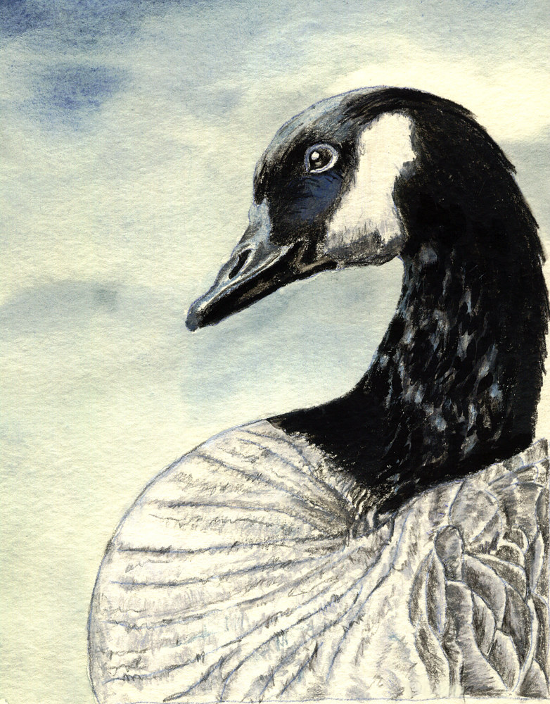 Watercolor Canadian Goose  by Cathy Crain