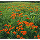 Butterfly Weed by Wayne Mazorow