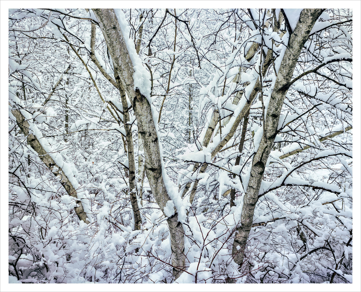 Gray Birch, Winter by Wayne Mazorow