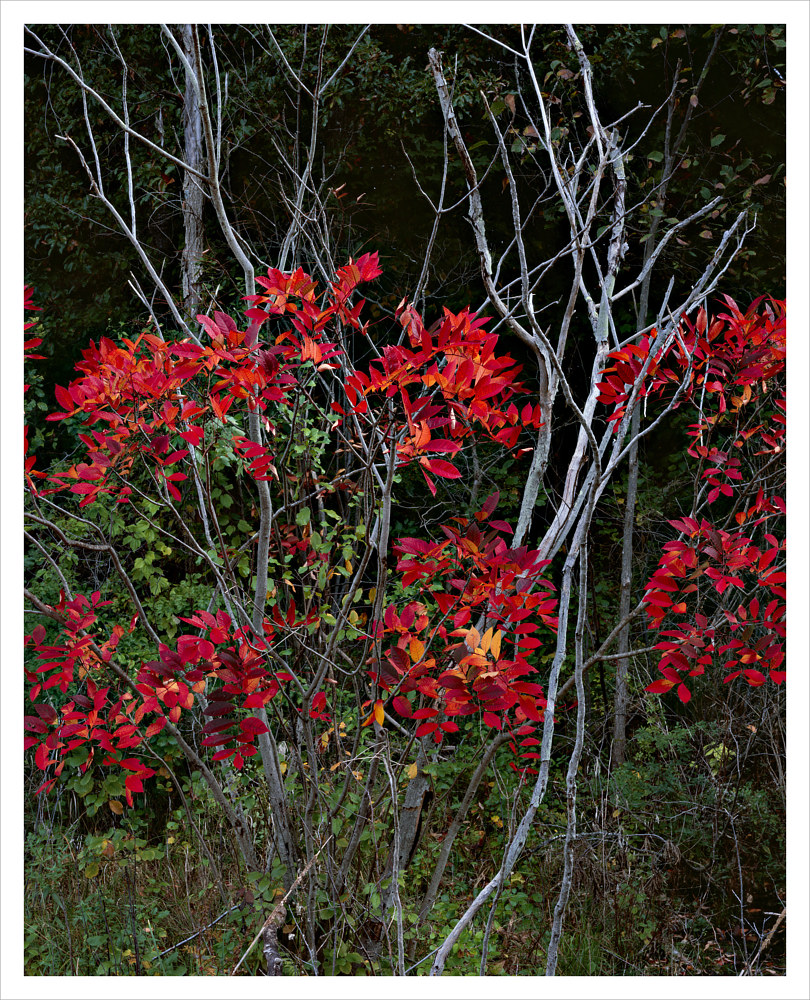 Poison Sumac, Autumn by Wayne Mazorow