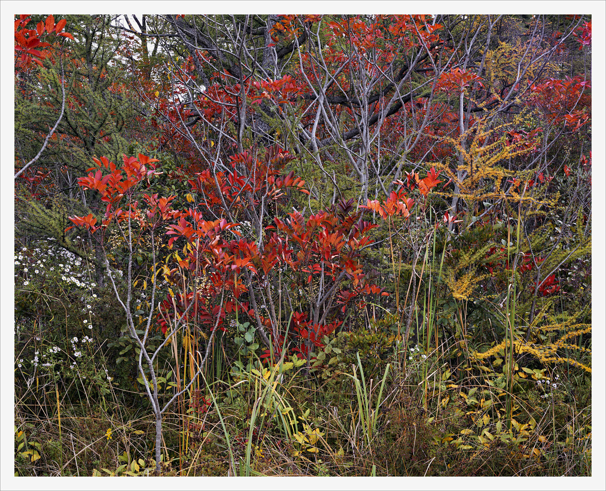 Sumac & Tamarac, Autumn by Wayne Mazorow