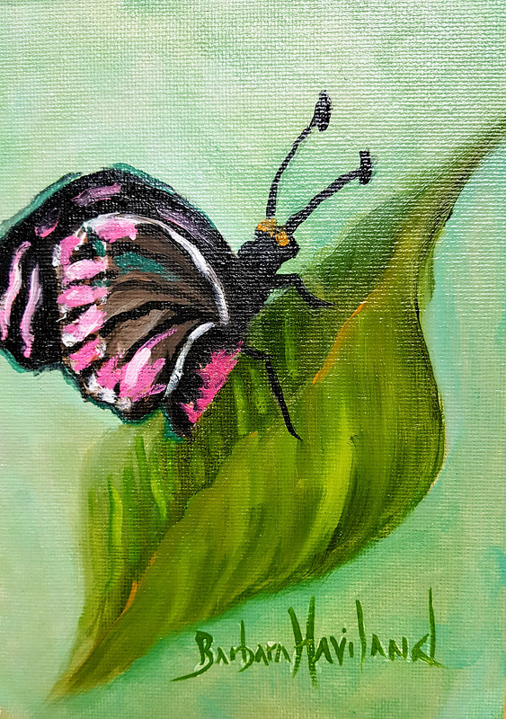 Drawing  Pink and Black  Butterfly by Barbara Haviland