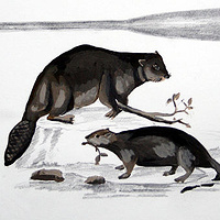 """Beaver and Paddles"".  Graphite and acrylic on paper. 29 x 38 cm. 2011  by Belinda Harrow"