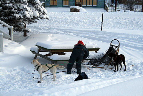 hooking up the dogs - in the winter people travel my dogsled by Belinda Harrow