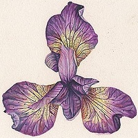 Print Two varieties of Iris by Richard Mountford