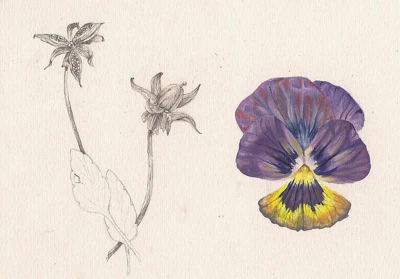 Print Pansy Flower and Seed by Richard Mountford