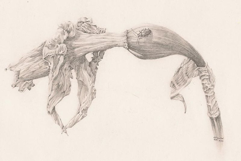 Daffodil drawing Richard Moutford Artist Pencil Paper by Richard Mountford