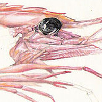 Painting Study of a Prawn by Richard Mountford