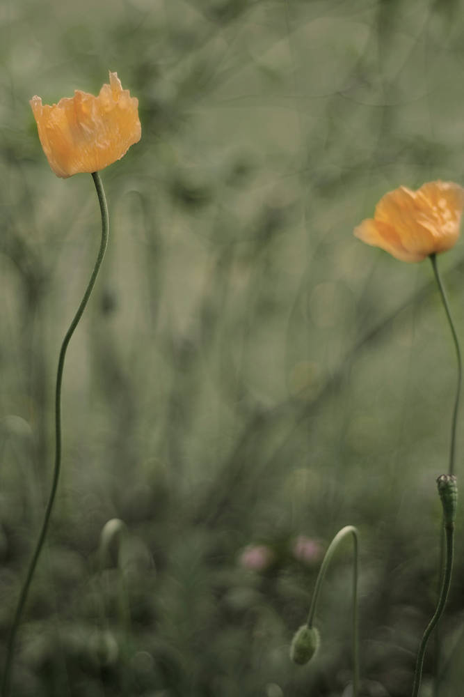 Poppies  by Jim Friesen