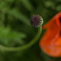 Poppy Pod by Jim Friesen