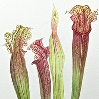 Watercolor Pitcher Plant by Jane Crosby