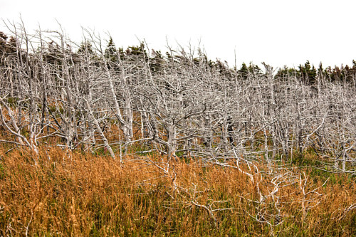 A photograph of spindly, leafless trees in Newfoundland