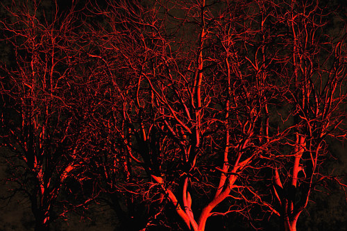 A photograph of oak trees under dramatic red lighting