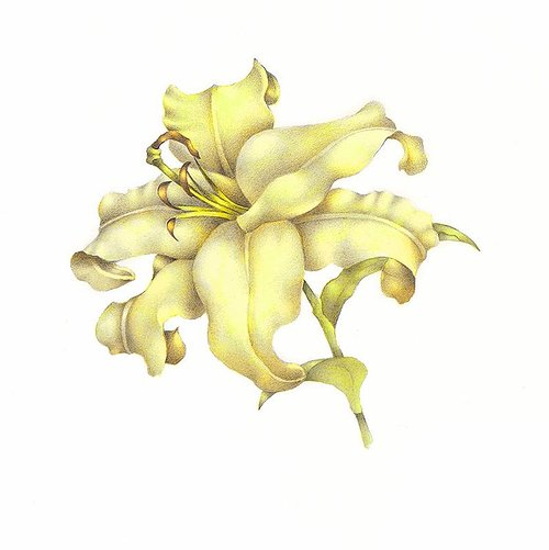 A drawing of a lily, the flower suspended on a white background