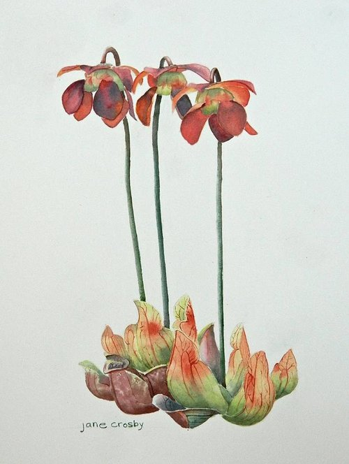 A simple watercolour painting of a pitcher plant on a plain paper background