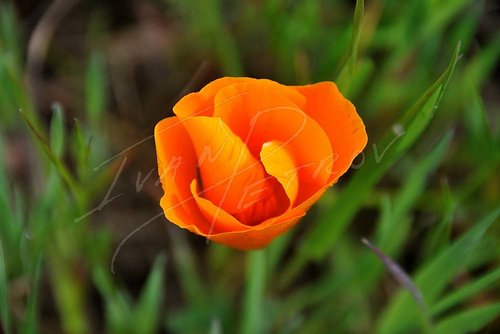 A close-up photograph of an orange poppy flower