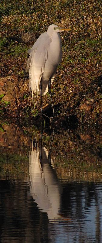 A photo of an egret standing on the shore of a lake