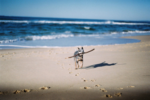 A photo of a dog carrying a stick on a beach