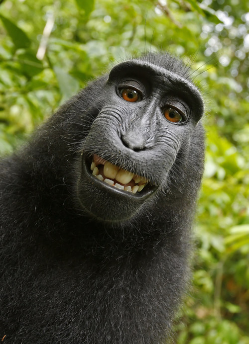 A selfie taken by Naruto, an Indonesian macaque