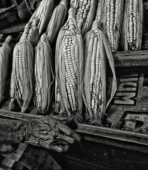 A photograph of some corn hanging to dry