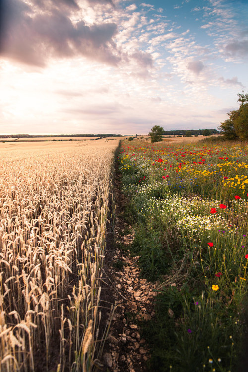A photograph of fields and flowers in Glocestershire