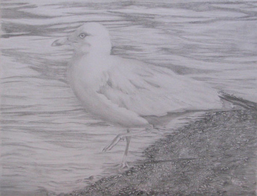 A graphite drawing of a seagull at the shore