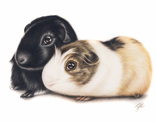 A pencil crayon drawing of two guinea pigs