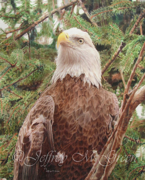 A pencil crayon drawing of an eagle sitting in a tree