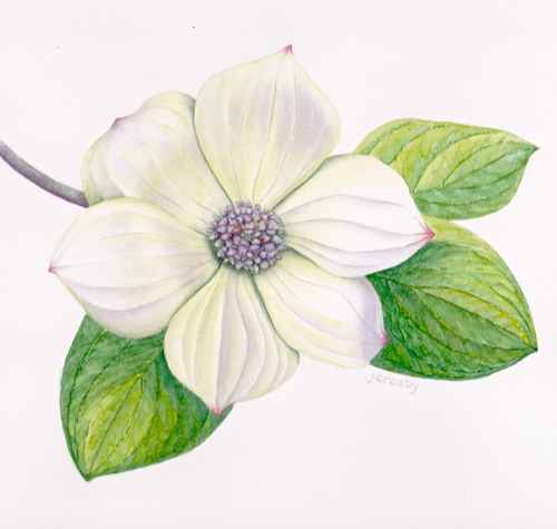 A watercolor painting of a pacific dogwood flower