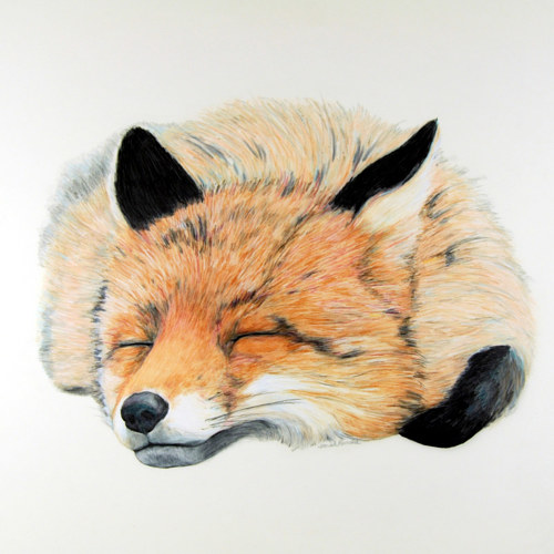 A drawing of a fox in a deep sleep